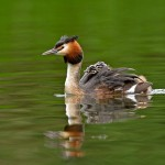 Grebe-with-chix-WEB-CROP