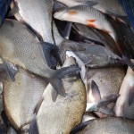 Haul of Bream