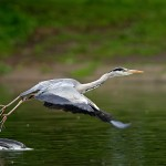 Heron-take-off-WEB-CROP